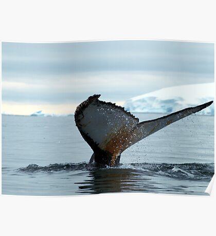 Humpback Whale ,  Antarctica Poster