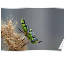 Soldier fly in North Texas Poster