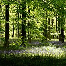 Beech Woods And Bluebells 2 by Photogothica