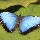 Menelaus Blue Morpho  by DutchLumix