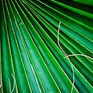Fan Palm  by Peter Doré