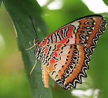 Malay Lacewing Butterfly by Maria Gaellman