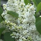 When the White Lilacs Blooms by karina5