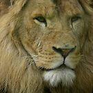 Lion  - Panthera leo by angeljootje