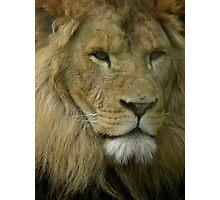 Lion  - Panthera leo Photographic Print