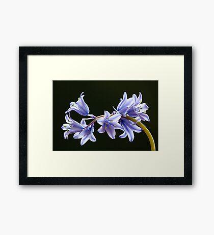 Bluebell flowers Framed Print