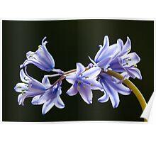 Bluebell flowers Poster