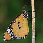 Plain Tiger Butterfly, also known as African Monarch Butterfly by Maria Gaellman
