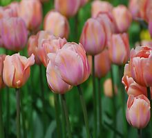 Tulips  by roumen