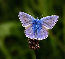 Common Blue by hebrideslight