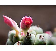 Monadenium Ritchiei Flower Photographic Print
