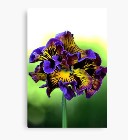 Shades of Frilly Pansy Canvas Print