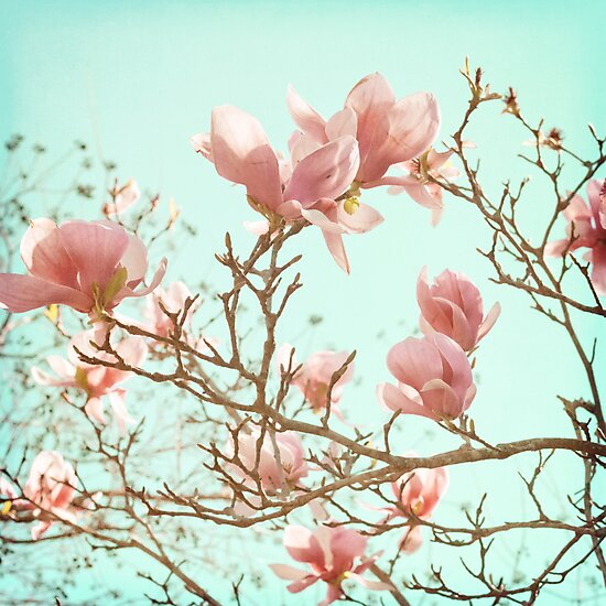 Japanese Magnolias by cmpotts