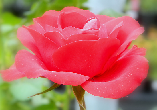 The Perfect Rose - Calendar Image ^ by ctheworld