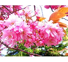 Sakura - Close Up Photographic Print