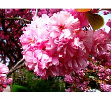 Sakura - Close Up 2 Photographic Print