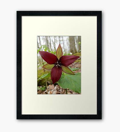 Wake-robin, Red Trillium Framed Print