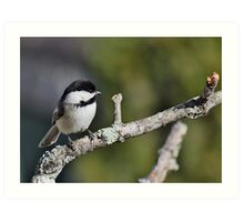 Black-capped chickadee perched on a branch Art Print