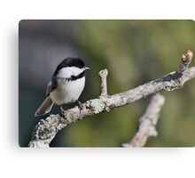Black-capped chickadee perched on a branch Metal Print