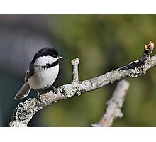 Black-capped chickadee perched on a branch Photographic Print