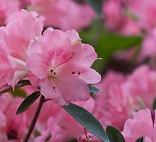 In The Pink by Tom Gotzy
