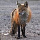 First Red Fox of the Season by Vickie Emms