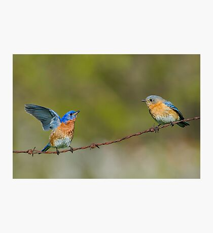 Courting Bluebirds Photographic Print