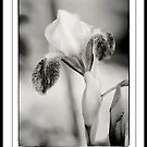 Iris in Black & White by KBritt