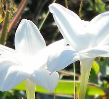 Purity - Food for Thought - Mature Rain Lilies by Navigator