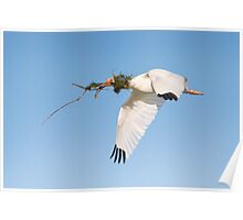 White Ibis Carrying Nesting Material. Poster