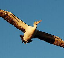 Pelican in flight by Neville Gafen