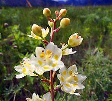 Mountain Death Camas - Anticlea elegans by Digitalbcon