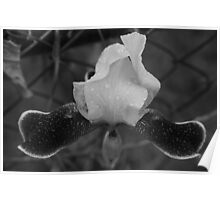 black and white flower along fence line  Poster