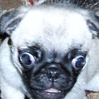 Crazy, Demented, Mad Pug On The Loose! by mysticrivers