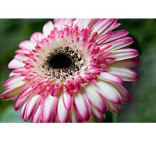 Peppermint Pink Photographic Print