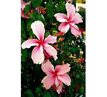 Three special hibiscus flowers Photographic Print