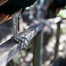 Peafowl: Talon by Daniel Rankmore