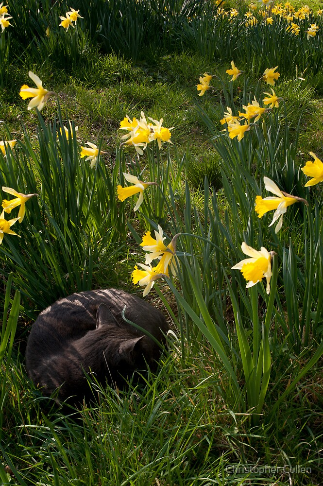 Tilt Shift Cat in Daffodils by Christopher Cullen