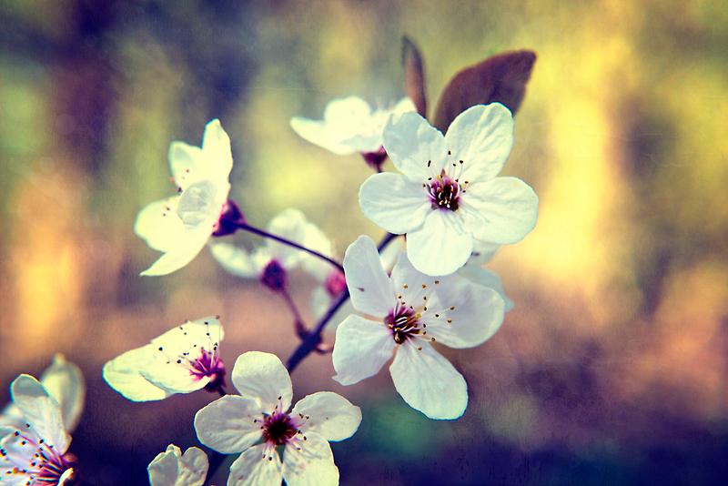 Spring blossom by Vicki Field
