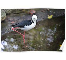 Black Winged Stilt. Queensland, Australia. (3) Poster