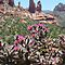Blooming Sedona, Arizona by Joni  Rae