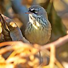White-browed scrubwren, Sericornis frontalis, small native Australian bird by Haggiswonderdog