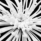 Black &amp; White Blossom by AIM TO BE AIMLESS  Sachin Manawaria