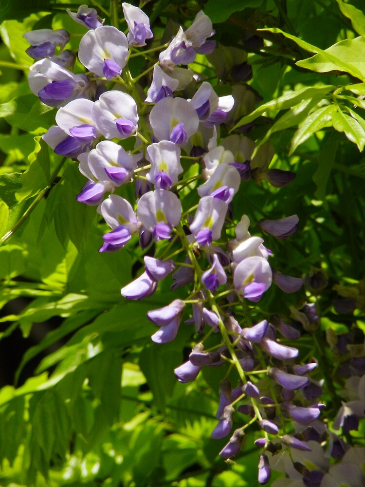 Wisteria's Scent by Pamela Phelps