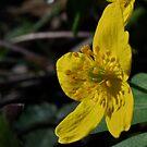 yellow wood anemone by Jari Hudd