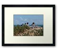 Crested Terns Penguin Island (3) Framed Print