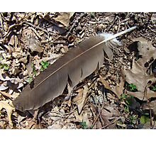 Turkey Vulture Feather - Cathartes aura Photographic Print