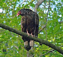 Turkey Vulture - Cathartes aura by MotherNature