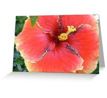 single yellow edged ,red hibiscus Greeting Card