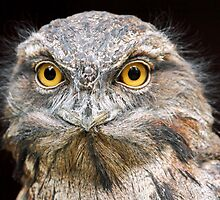 Portrait of a Tawny Frogmouth by Mark Hughes